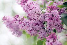 ~Lilacs~