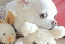 love chihuahua