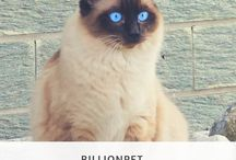Siamese / featuring articles about Siamese breed information, cat selection, training, grooming and care for cats and kittens.