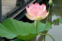 Flor de lotus / Flor de lotus