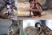 Baby Baboons and Great Apes / http://babybaboons.webnode.hu/