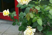 mine roser