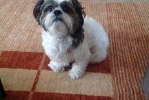 Fidel. My shih tzu. / My dog FIDEL.