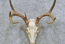 boynuz kafatası