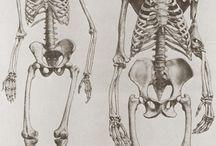 анатоми