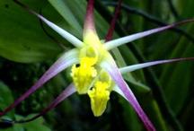 Diplocaulobium orchids