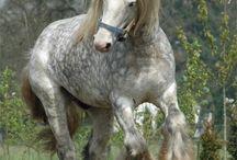 Kır atlar