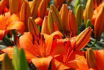 Lilies and iris 's