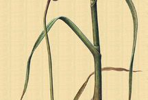 Grabados de plantas