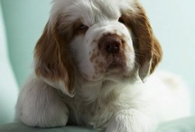 Clumber Spaniel Signs and Pictures / Warning and Caution Clumber Spaniels Signs. https://www.signswithanattitude.com/clumber-spaniel-signs.html