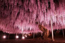 Natural / It is 144-year old Wisteria