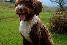 Lagotto Romagnolo / Dogs, Lagotto Romagnolo