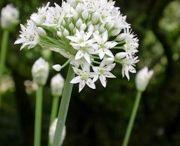 GARDEN flower bulbs