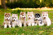 Huskies!!! / by Whitney Taylor
