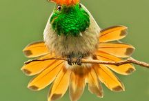 Rufous-crested Coquette :