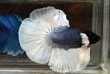 Betta Fish are the best / I love Siamese Fighting Fish and can't wait to get one / by Andrea Gray