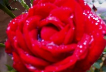 roses / by Jeri Shaver
