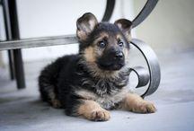 Dogs and animals / German Shepherd dog