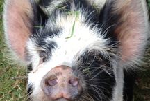 Kune Kune Cuteness / by Oink, Oink, Mini Pigs!