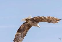 Eagles / Photos of Eagles, taken primarily in the Mount Shasta area