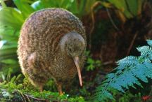 Great Spotted Kiwi.