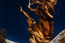 A Matuzsálem fa – a világ ma ismert legidősebb élőlénye