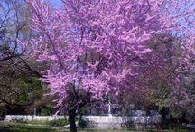 Erguvan Ağacı