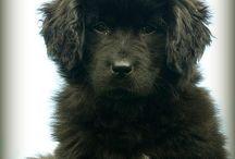 Chien, Dog