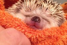 Hedgehogs ♥/-♥/ / cutness overloaddd