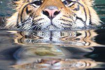 Tigri di diverse razze