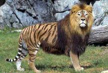 Liger & Tigon / Tigrar och Lejon ihopparade