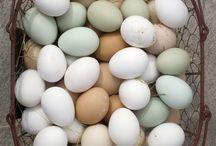 Chicken farming •>