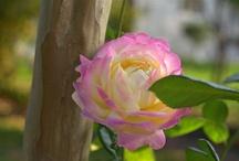 Roses / by Jeanne Buckingham