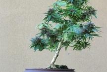 bonsai mary