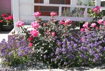Rose plant and care