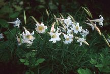 Lilies: Old House Gardens