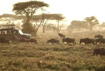 Wildebeeast Migration / The greatest spectacle on earth, over 2 million wildebeest and 800,000 zebra migrate annually across the Masai Mara in Kenya and the Serengeti in Tanzania.