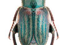 glaphiridae