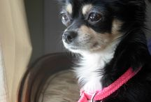 Chihuahua & Crested / Chihuahua and Chinese crested dog