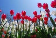 Istanbul Tulip Festival  / 15 April 15 May Istanbul tulip festival