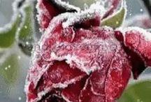 Rosas da neves