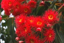 Myrtaceae / Myrtaceae or the myrtle family is a family of dicotyledonous plants placed within the order Myrtales. Myrtle, pohutukawa, bay rum tree, clove, guava, acca (feijoa), allspice, and eucalyptus are some notable members of this group. All species are woody, with essential oils, and flower parts in multiples of four or five. The leaves are evergreen, alternate to mostly opposite, simple, and usually with an entire (not toothed) margin.