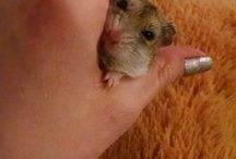 Minikin J. Squishington the First / My tiny little hamsterlet, Squish! I <3 her.