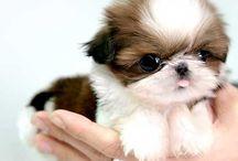 Shih tzu pups / by Rosemarie Berhang