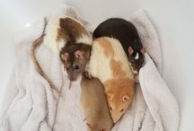 Adorable and cool rats