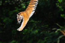 I want to be a tiger  / My favourite animal