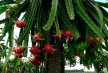 Kaktuszok.