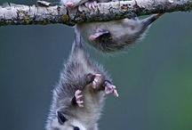 Opossum:)
