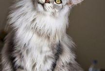 Maine Coon/ Sibirisk Katt