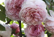 Rosa, rosae, rosae,rosam..